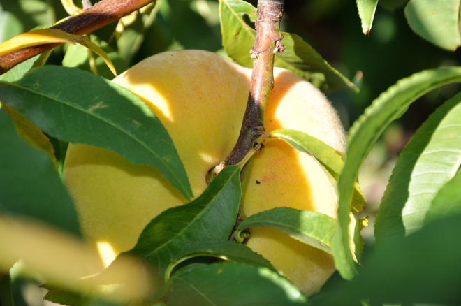 Fresh Peach in a Tree