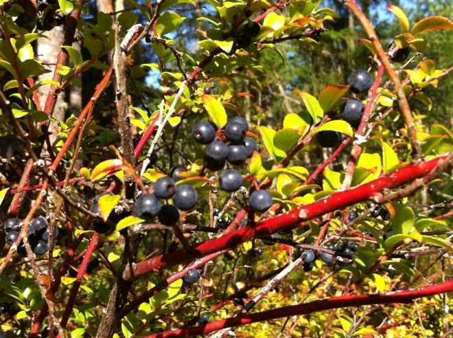 Huckleberries on the Key Peninsula