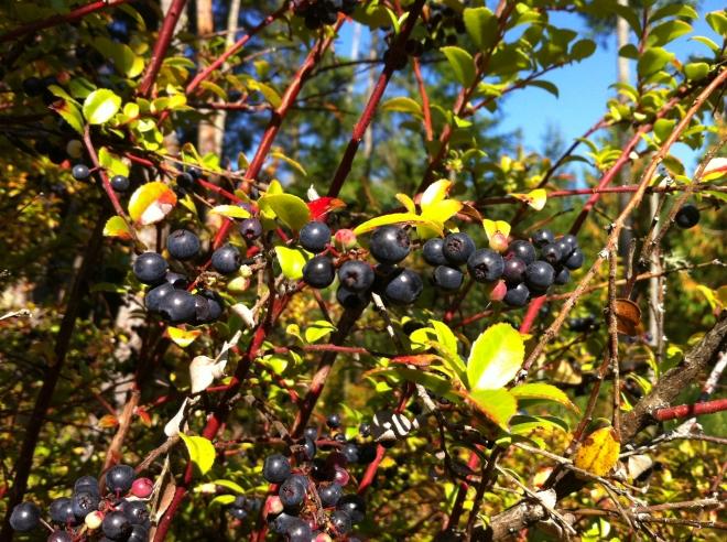 Huckleberry Bear Snacks
