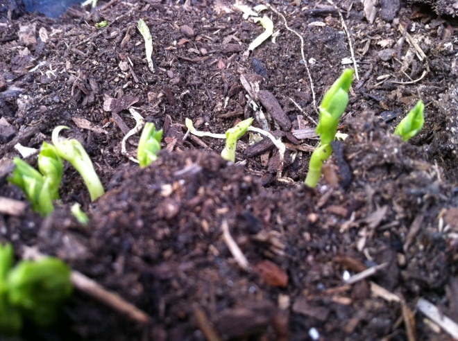 Super Sugar Snap Pea Beginnings
