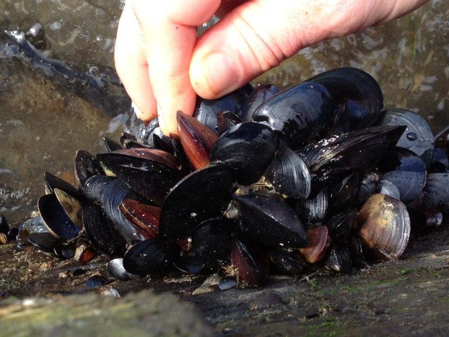 Plucking Fresh Mussels