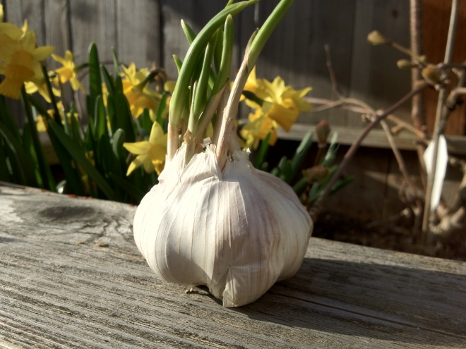 Garlic in the Sun