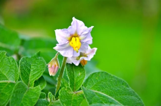 Potato Blossom's Senior Portrait (Soft Focus)