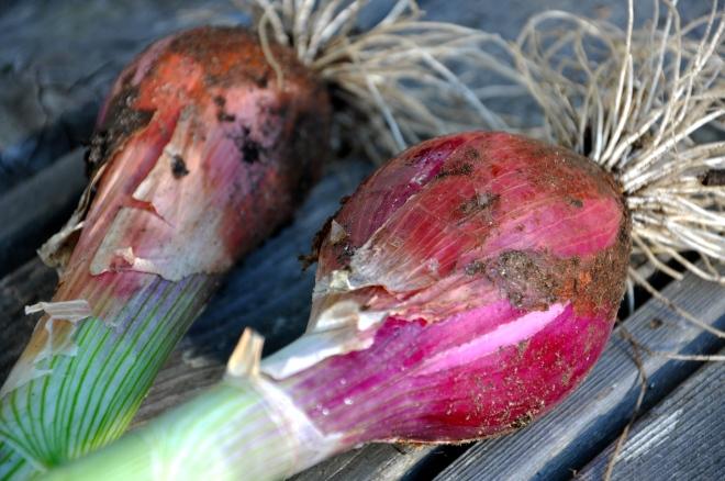 Red Torpedo Onions - Pretty Fresh
