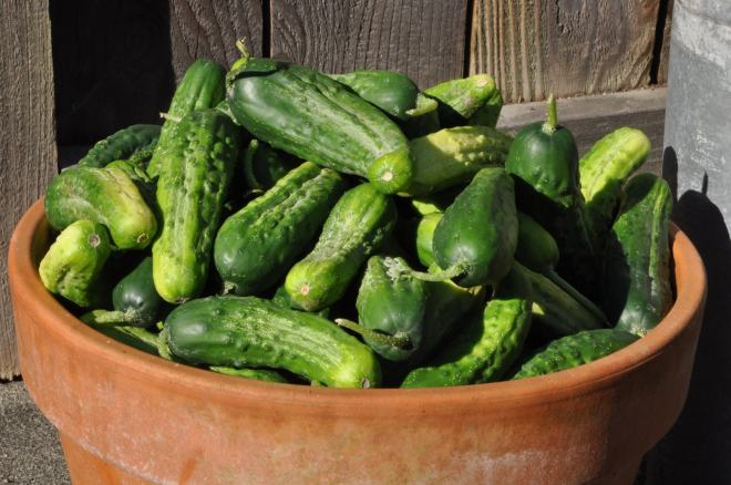 Peck of Pickling Cukes