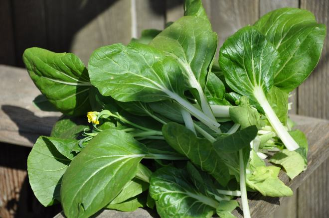 Freshly Harvested Pac Choi
