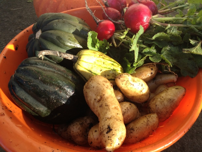 Squash, Potatoes and Radishes