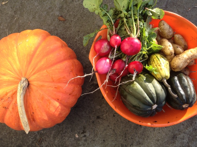 Red Kuri Squash and Harvest