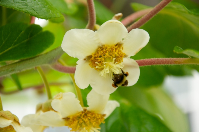 Bee Gathering Pollen in the Kiwis!