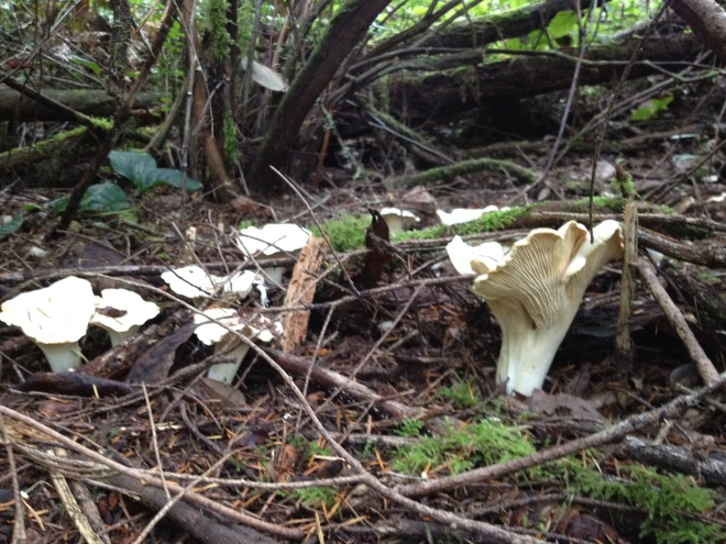 Chanterelles on the Forest Floor