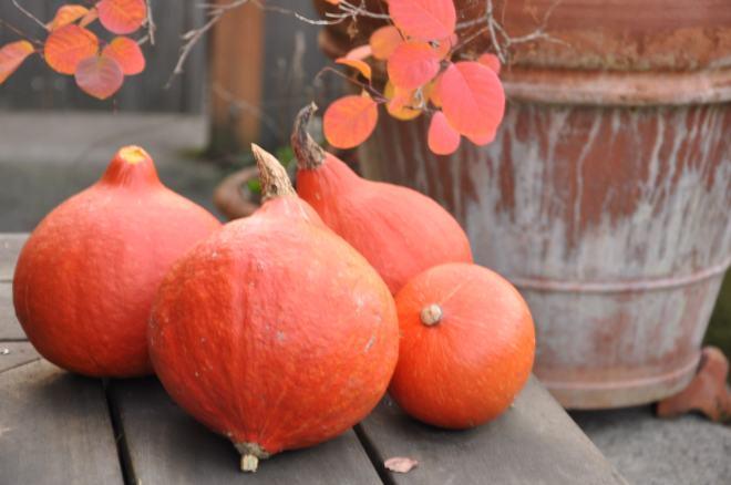 Red Kuri Squash Harvest