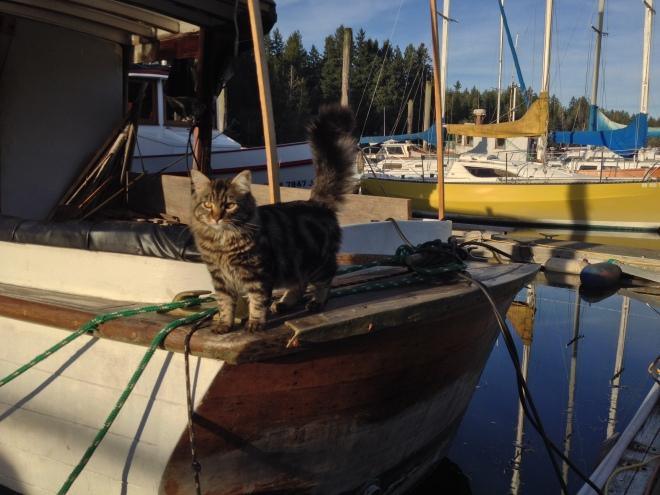 Ishmael the Maine Coone Cat