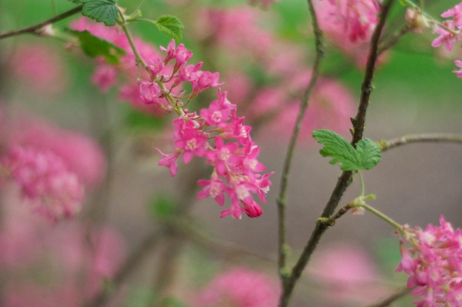 Red Flowering Currant - Currently Flowering